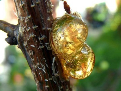 What is Baltic Amber?